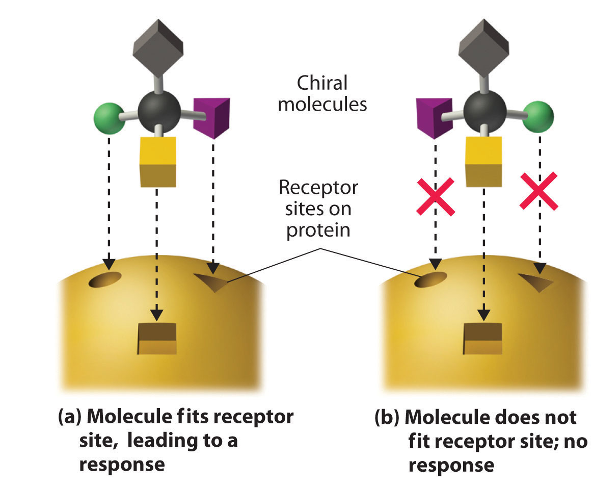 Molecules with receptor sites from images.flatworldknowledge.com.