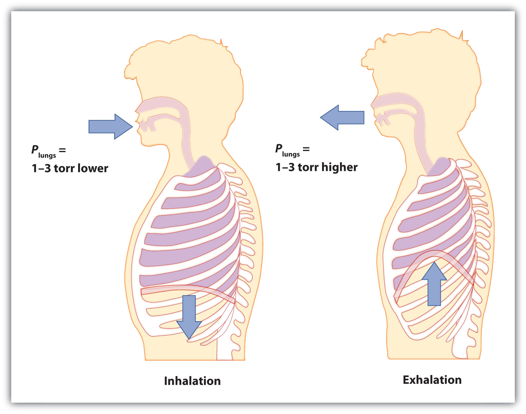 Breathing Involves Pressure Differences Between The Inside Of The Lungs And  The Air Outside The Pressure Differences Are Only A Few Torr