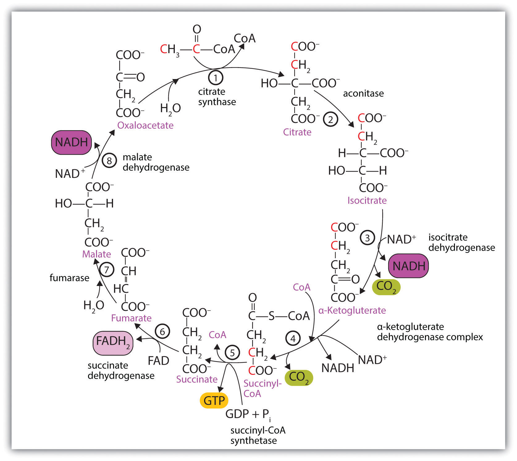 Citric Acid Cycle Steps Simplified of The Citric Acid Cycle