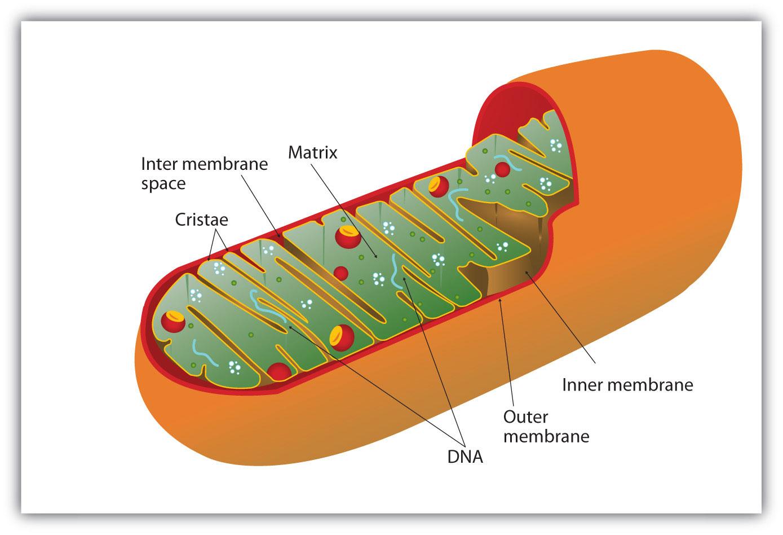 Cellular respiration occurs in the mitochondria