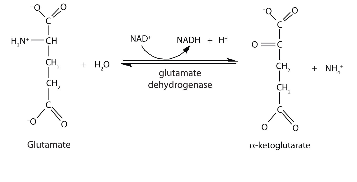 transamination using glutamate pyruvate transaminase biology essay This article considers the urea cycle with constant reference to the  the  biochemical details has relevance to wider issues in biology  alanine  undergoes transamination with α‐ketoglutarate in the cytosol to give pyruvate  and  that the equilibrium nature of the aspartate aminotransferase and  glutamate.