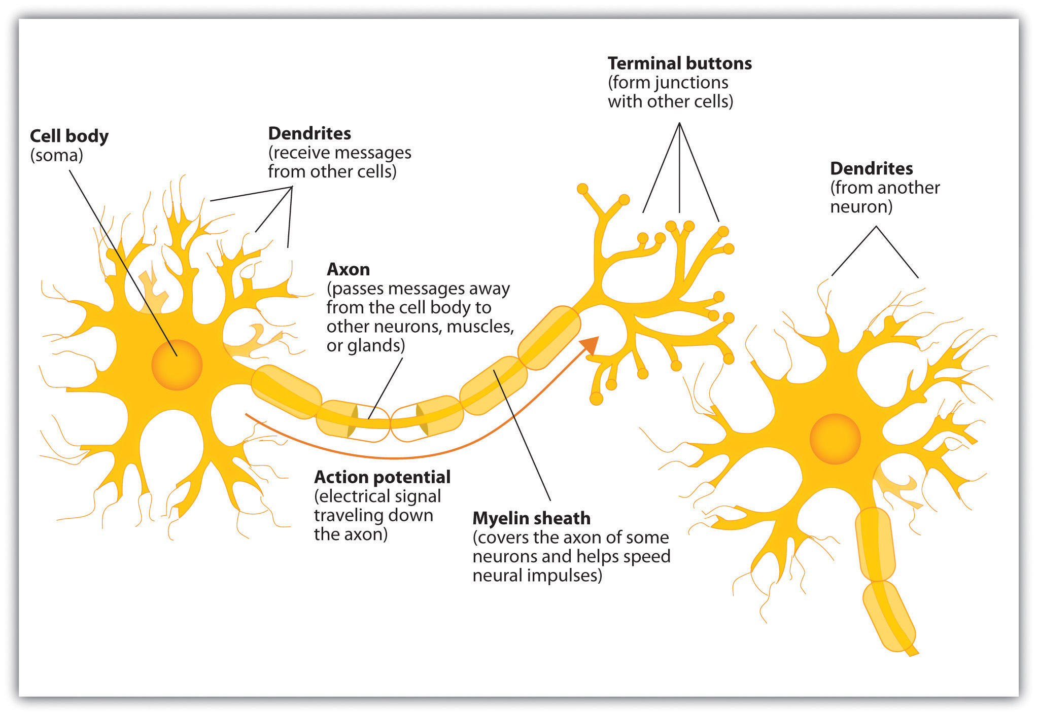 Components of the Neuron