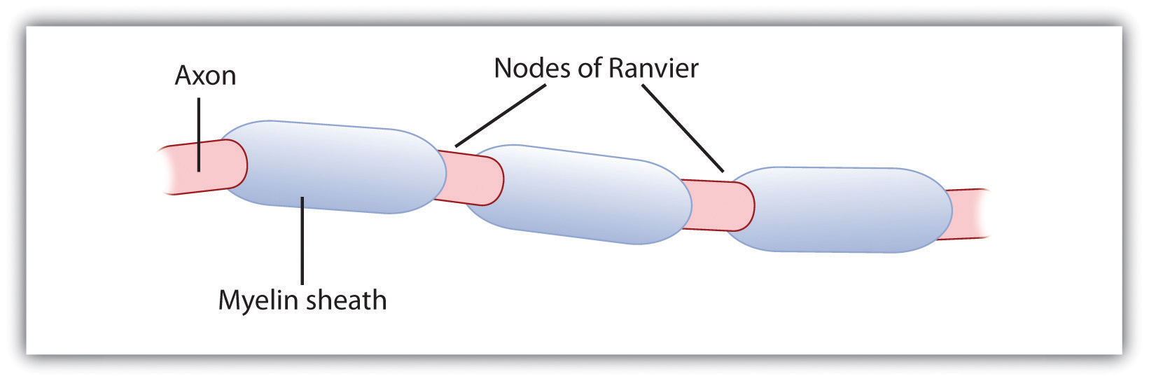 The Myelin Sheath and the Nodes of Ranvier