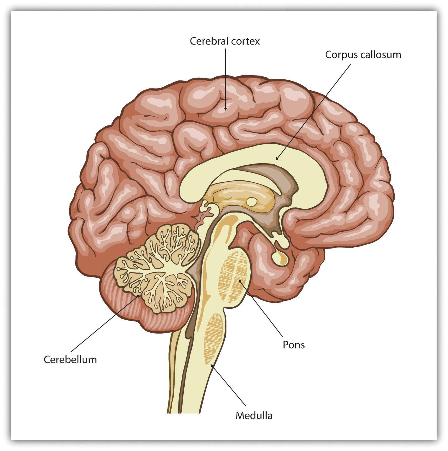 Right Cerebral Cortex as The Cerebral Cortex