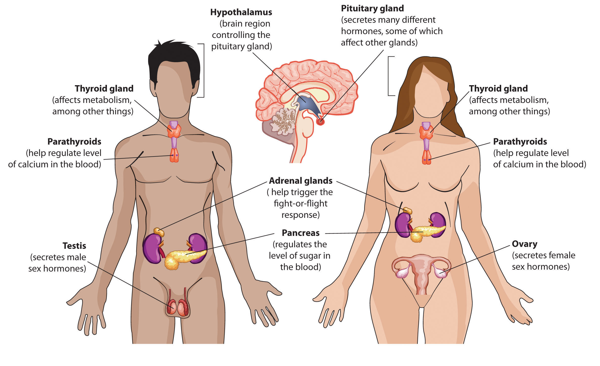 how does the endocrine system affect the excretory system, Human body