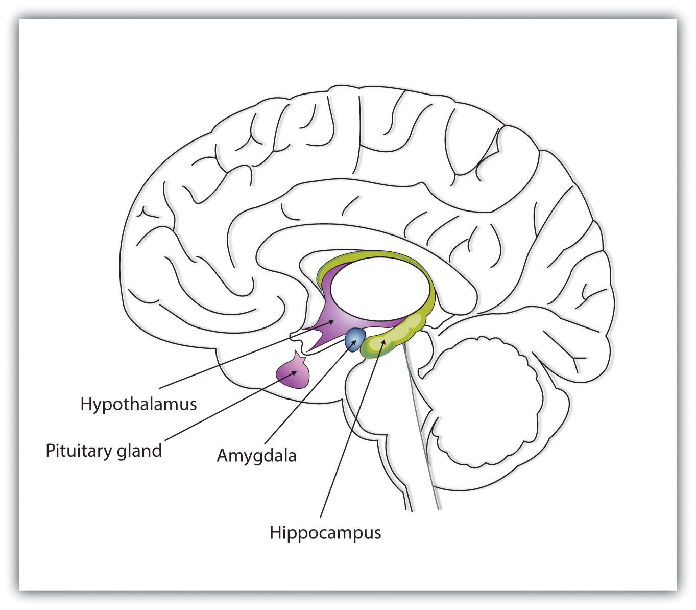 Brain Clip Art furthermore Nervous System Brain furthermore Brain Drawing also anatomychartee likewise Brain Regions. on brain diagram coloring page