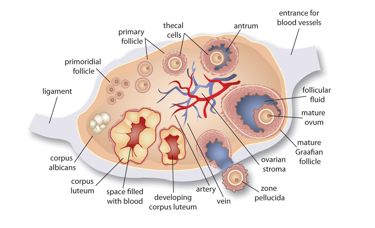 Structure of the ovary and uterine (fallopian) tube. Figure ...