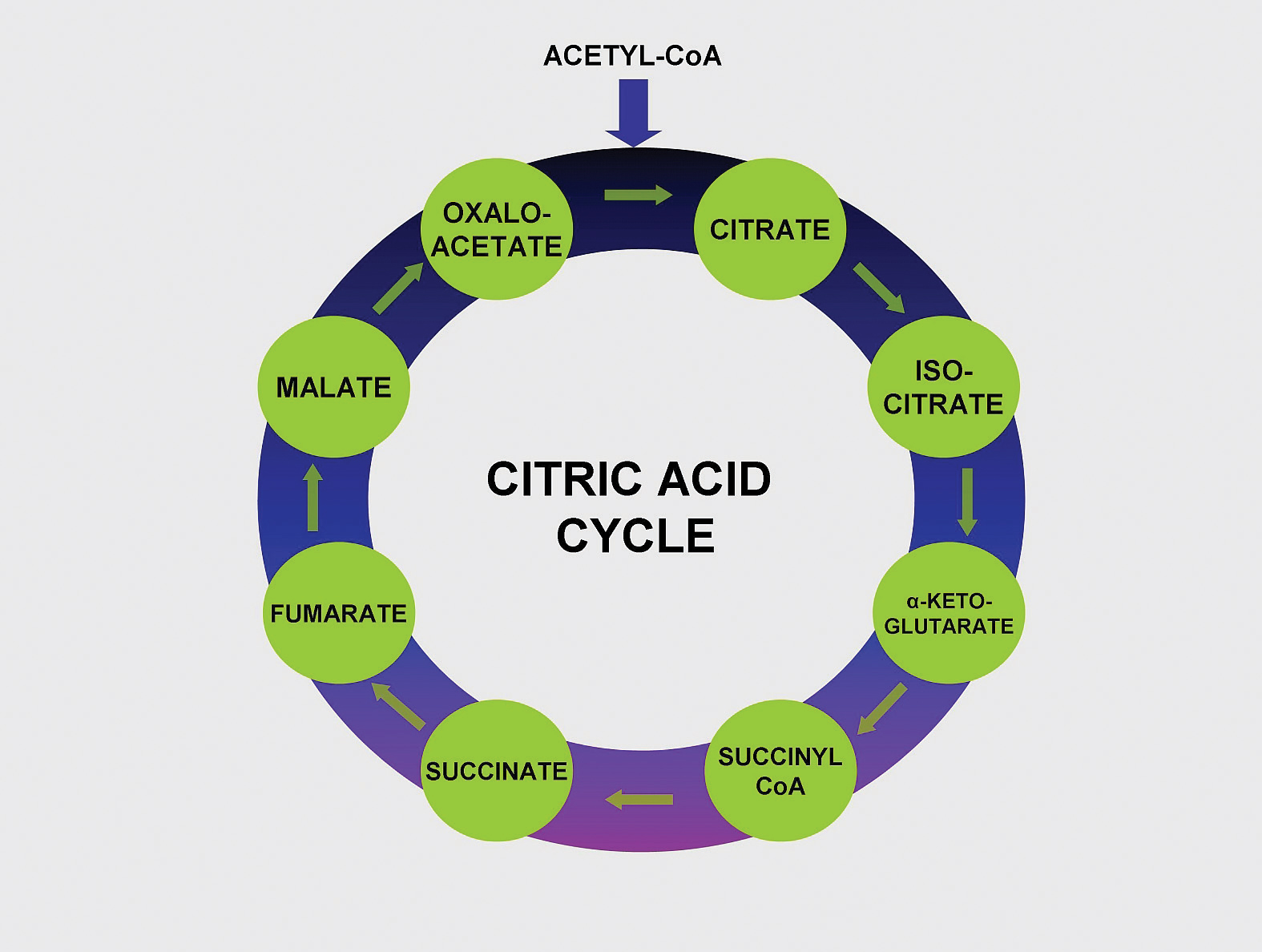 Citric Acid Cycle Net Input And Output Into The Citric Acid Cycle