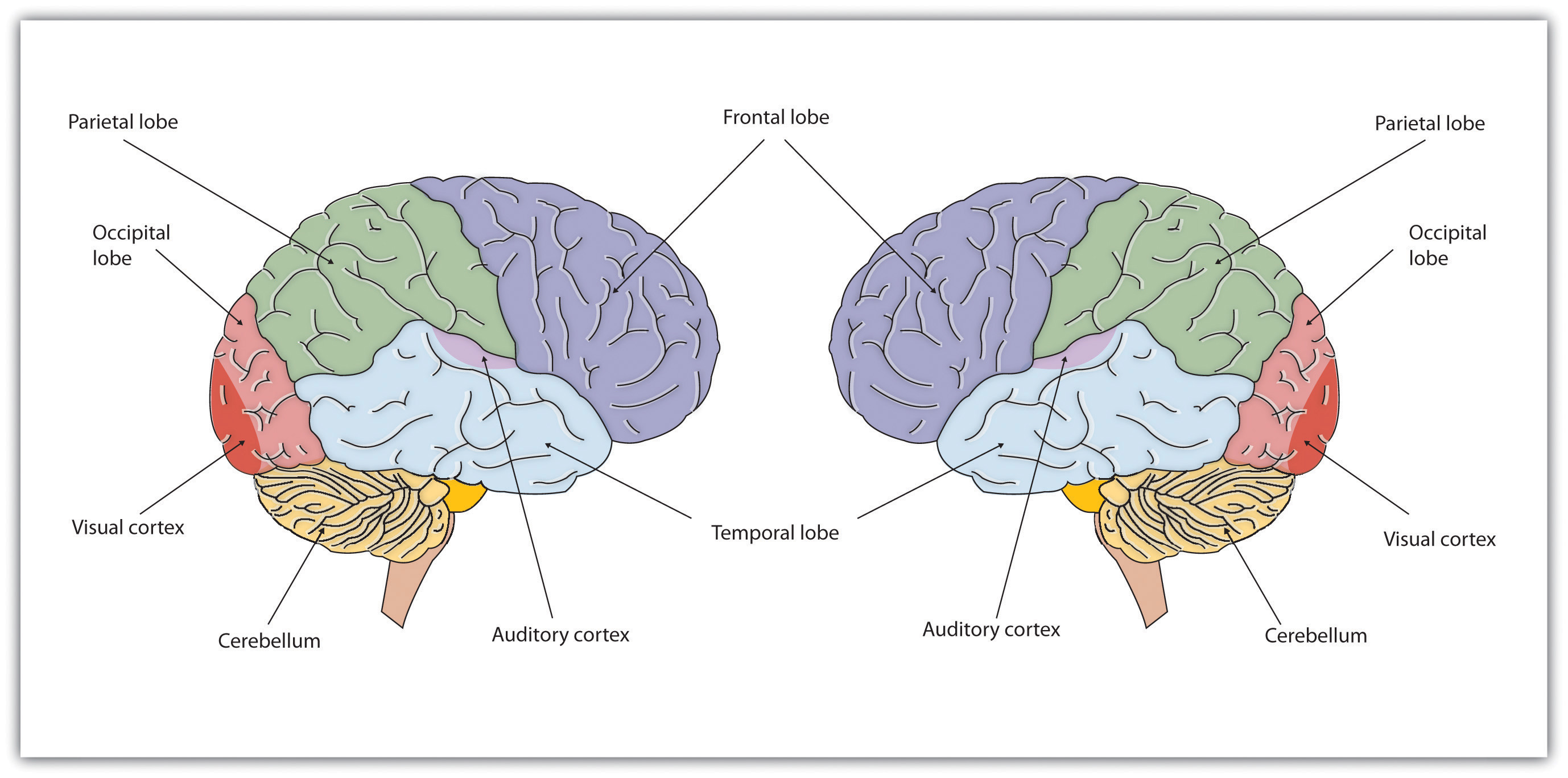 Introduction to psychology 10 flatworld the cerebral cortex creates consciousness and thinking ccuart Images