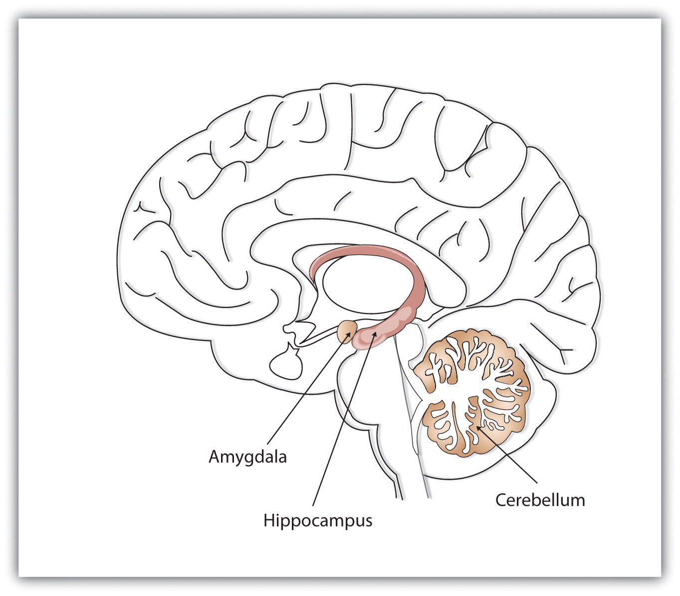 the role of amygdala in williams Amygdala: what does it do jacinta robenstine the role of the amygdala j neuropsychology 9(3): 382-394 stimuli in williams syndrome j.