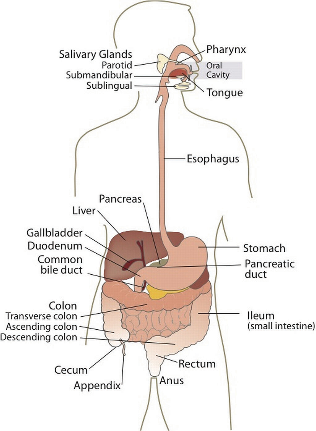 Essentials of nutrition a functional approach 101 flatworld from the mouth to the stomach pooptronica